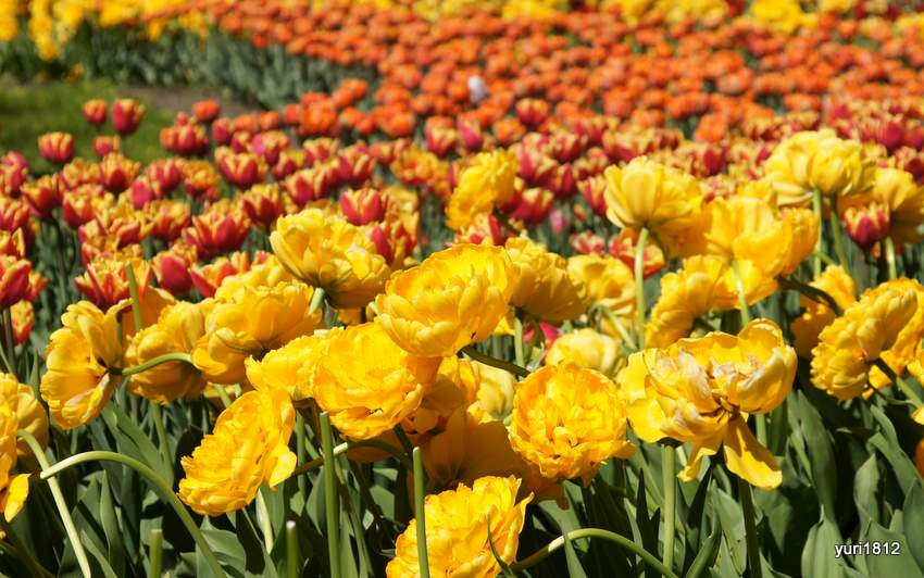 Тюльпаны на Елагином острове 2017
