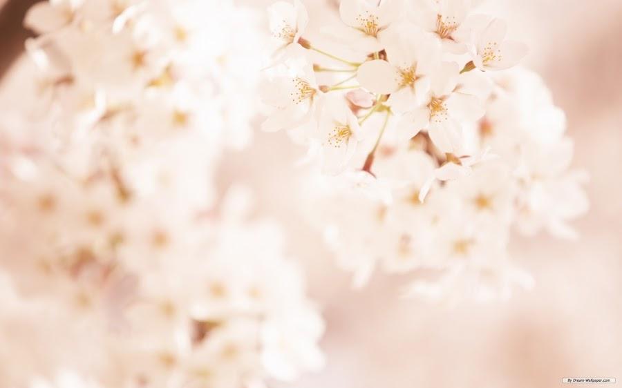 fondo wallpaper computadora flor cerezo blanco