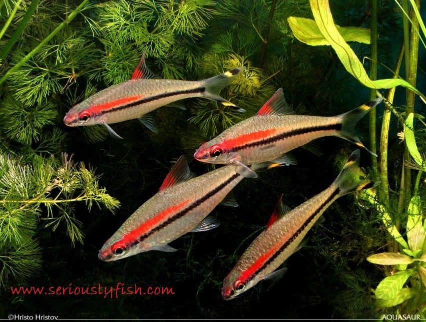 Red Line Torpedo Barb - Jenis Jenis Ikan Hias Air Tawar Aquascape Paling Lengkap