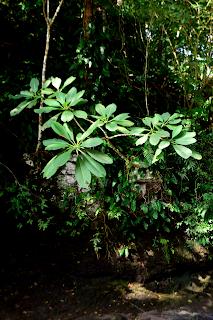 Frangipani at Rio Viejo, Puriscal