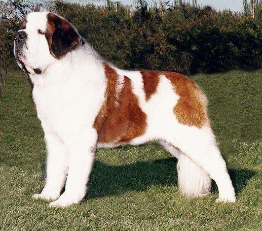 Dog Breed Info Saint Bernard