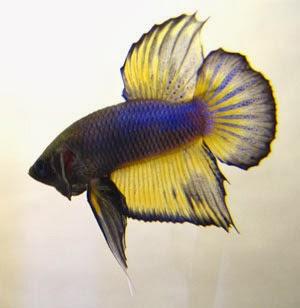 Macam Macam Gambar Ikan Cupang Hias Ikan Cupang Laga Ikan ...