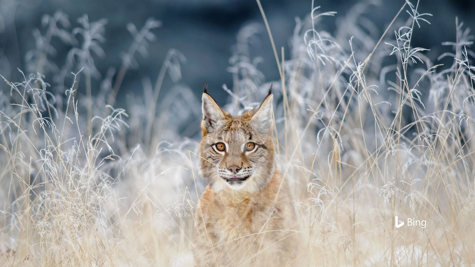 Eurasian lynx in the Bohemian-Moravian Highlands of the Czech Republic