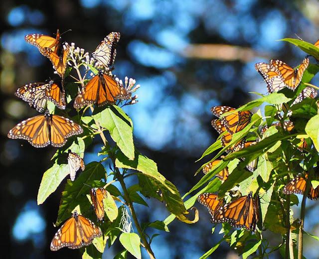 La grande migration ii mexique centre - Duree de vie papillon de nuit ...