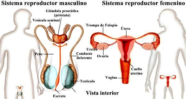función de la glándula prostática de la vesícula seminal