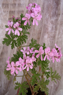 пеларгония комнатное растение