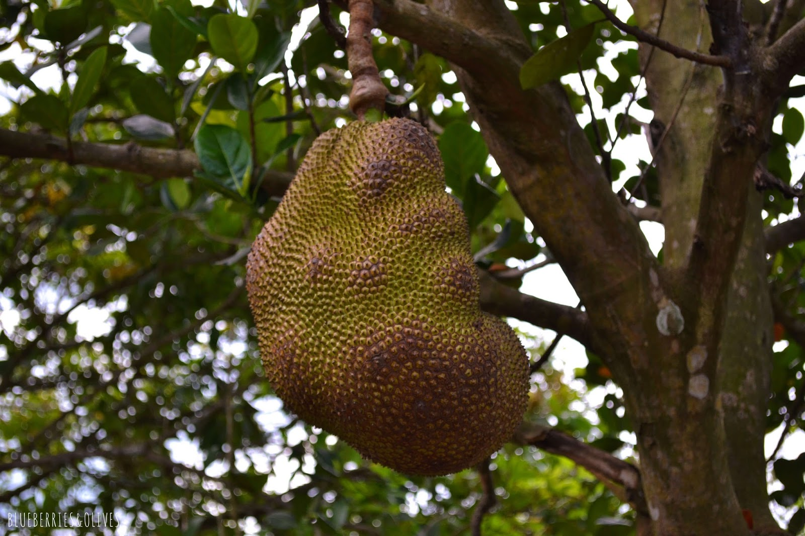 Jackfruit - Mekong Delta