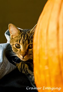 Professional quality pet portrait of a gray tabby cat with a pumpkin in Pocatello, Bannock, Idaho by Cramer Imaging