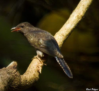 Image of Grey-bellied cuckoo (Cacomantis passerinus)