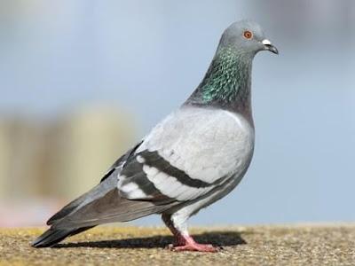 Produse columbofile pentru porumbei campioni