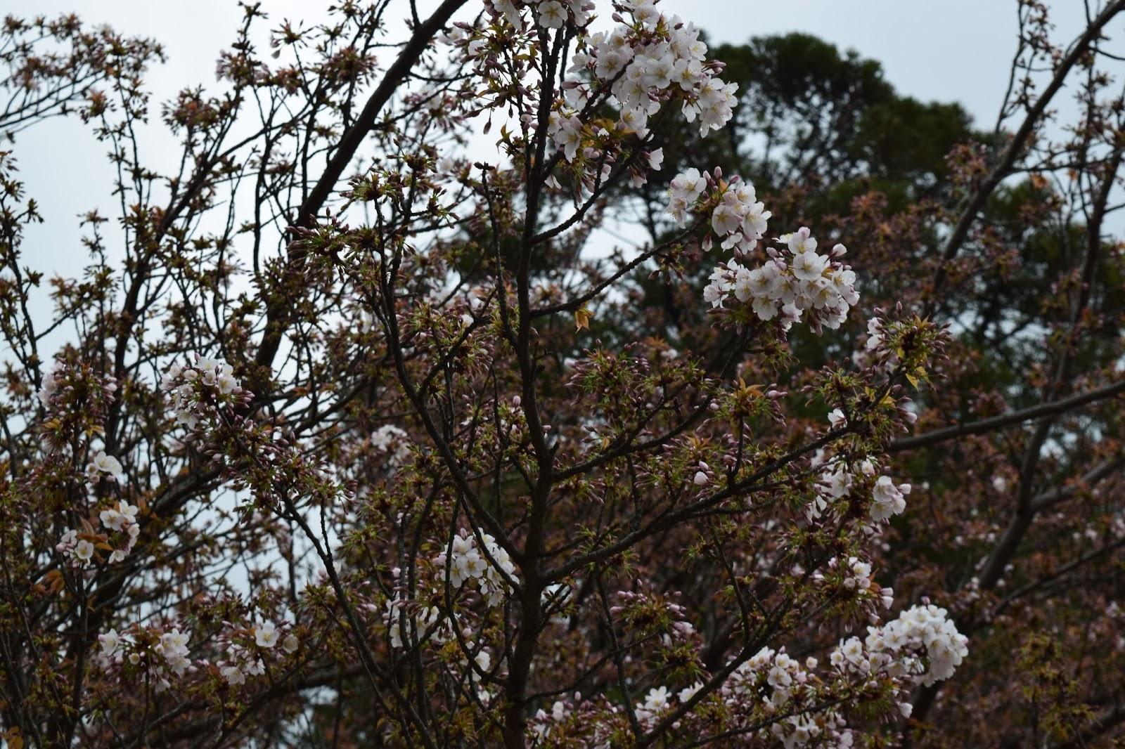 Plum blossom Kitano Tenmangu