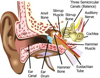 Science: HUMAN EAR