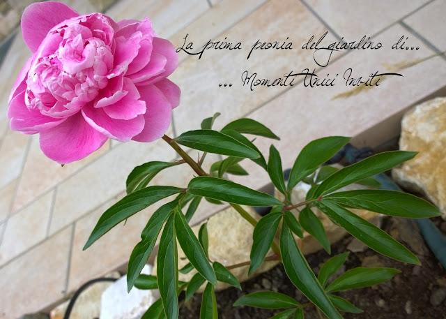 peonia La prima peonia del giardino di Momenti Unici Inviti...Uncategorized