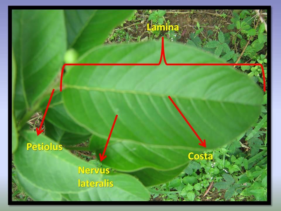 Klasifikasi Tumbuhan Berbiji Jambu Biji Psidium Guajava L