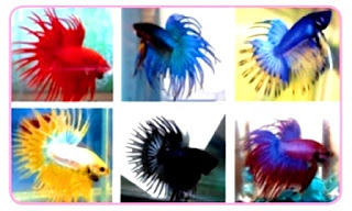 Jenis - Jenis Ikan dan Wadah Budi Daya Ikan Hias