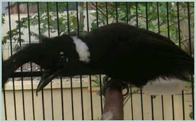 kali ini kita akan membahas burung berjambul nan indah yang satu ini Tips Cara Merawat dan Berternak Burung Cililin