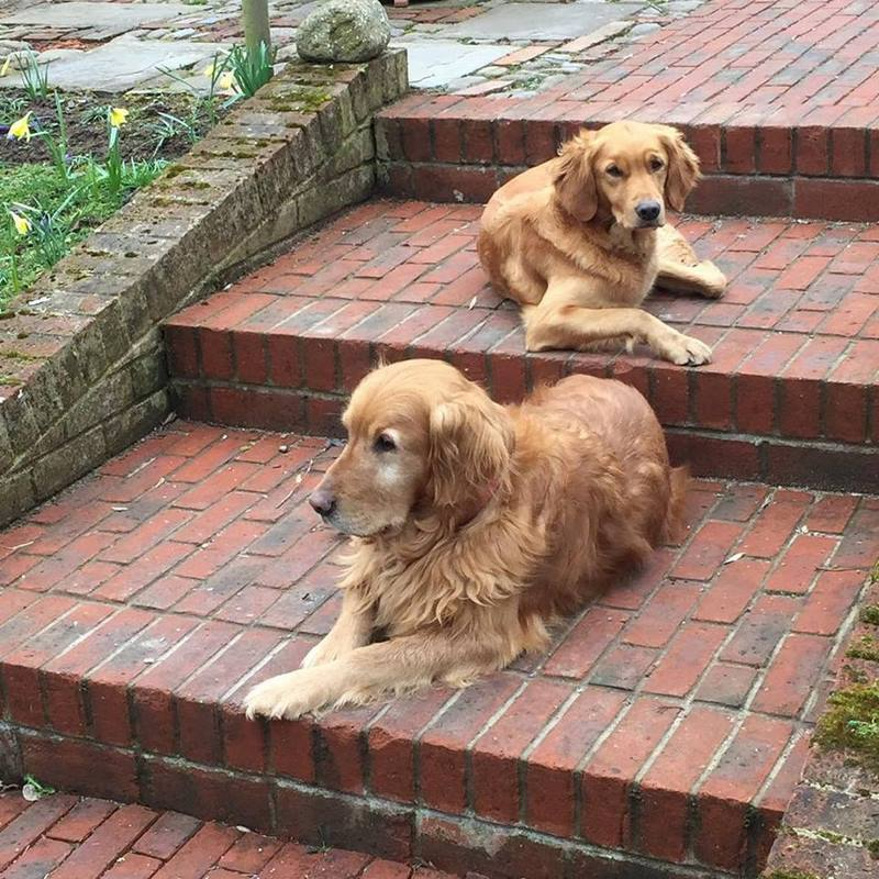 Perros Golden retriever de Monty Don en una escalera de ladrillo