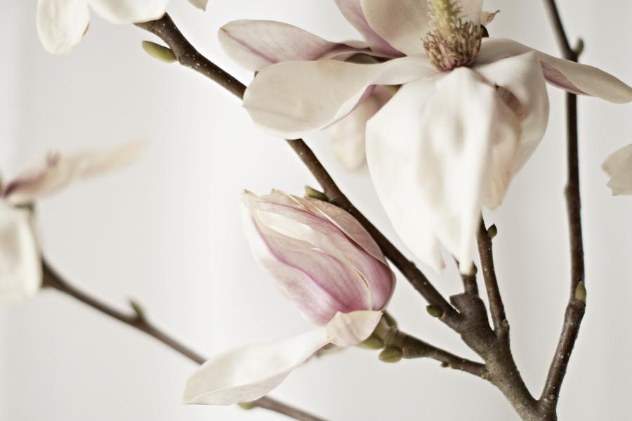 ganz nah an einer aufgeblühten Magnolie