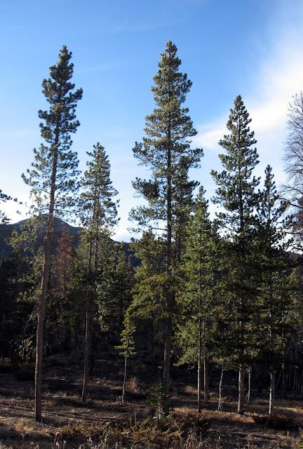 Tree Identification Lodgepole Pines