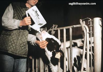 Buzağa Bovivet Buzağı Süt İçirme Kabı İle Ağız Sütü Verilmesi