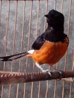 Ekor pada burung murai kerikil merupakan alat vital yang wajib dimilikinya bukan hanya sebag 5 Penyebab Ekor Burung Murai Tidak Tumbuh Sempurna