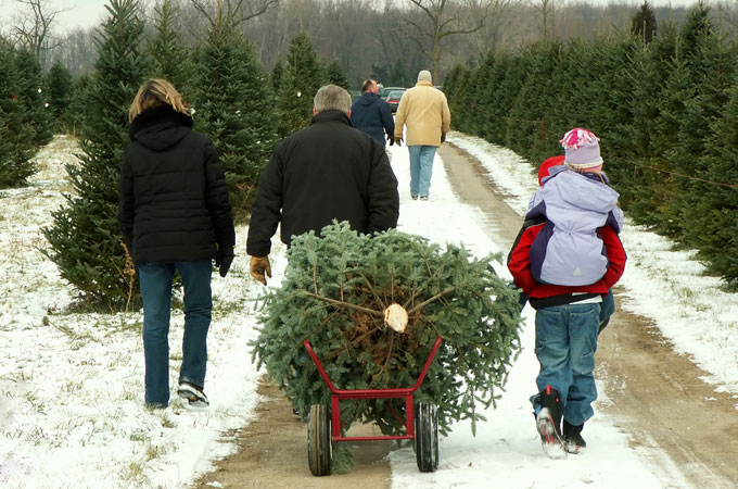 CAN YOU REPLANT A CUT CHRISTMAS TREE? - CAN YOU REPLANT A CUT CHRISTMAS TREE? |The Garden Of Eaden