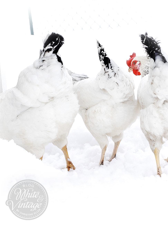 Winterbilder: Hühner im Schnee.