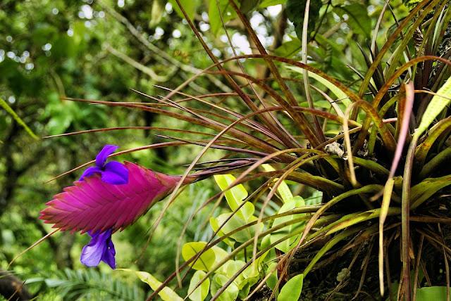 Tillandsia cyanea (Pana roz sau Fiica aerului)