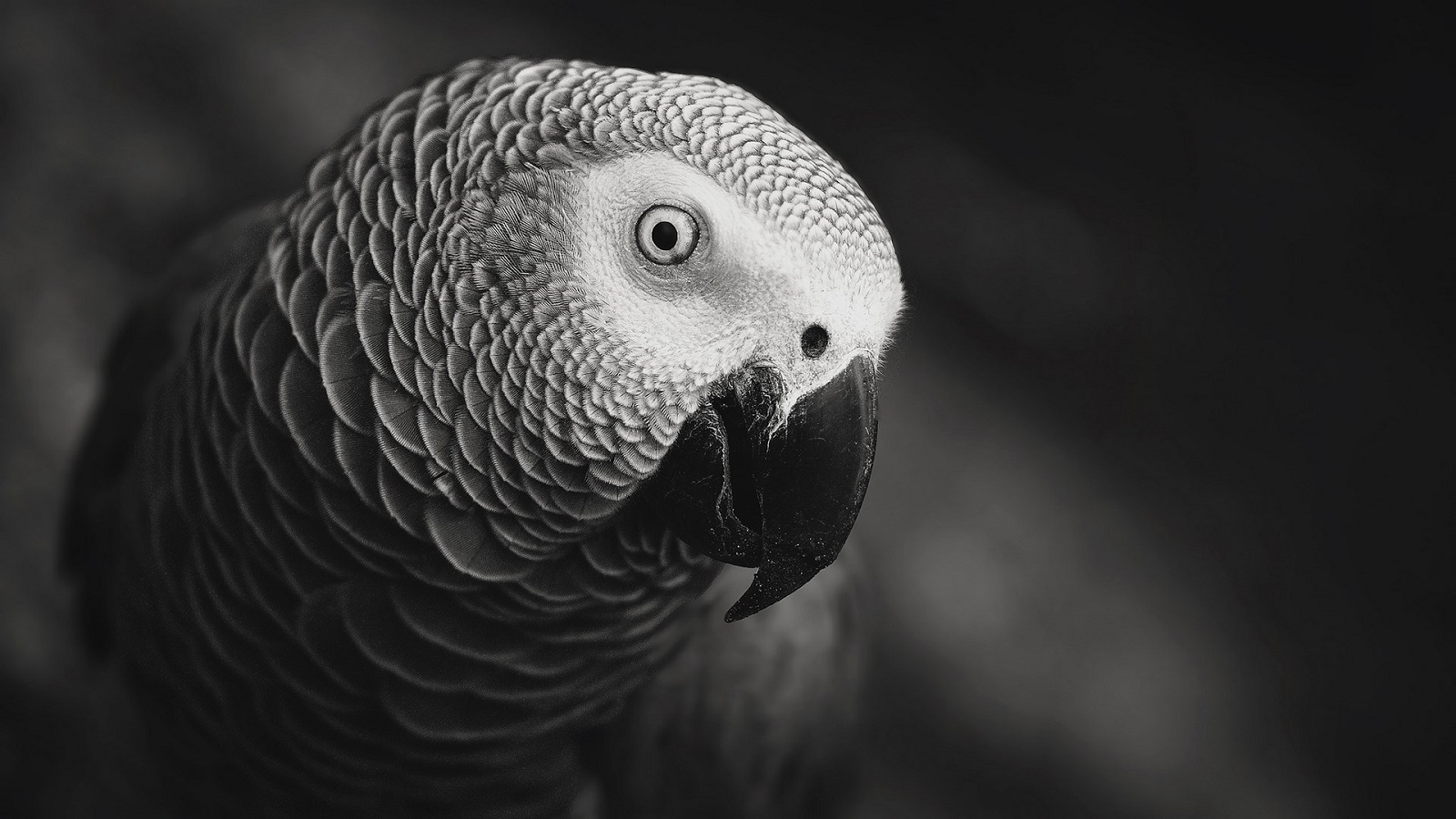 Everything you need to know about African Grey Parrot
