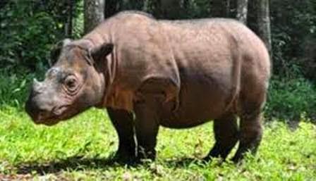 Badak Sumatera  Spesies Badak Indonesia  Ragam Dunia Hewan