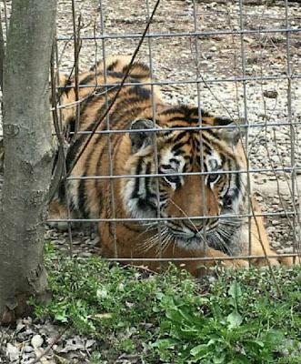 Tiger Cub in Indiana at EFRC