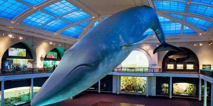 http://www.amnh.org/exhibitions/permanent-exhibitions/biodiversity-and-environmental-halls/milstein-hall-of-ocean-life/the-blue-whale