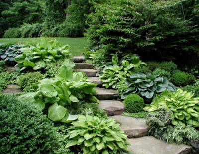 Хоста у Вашому саду
