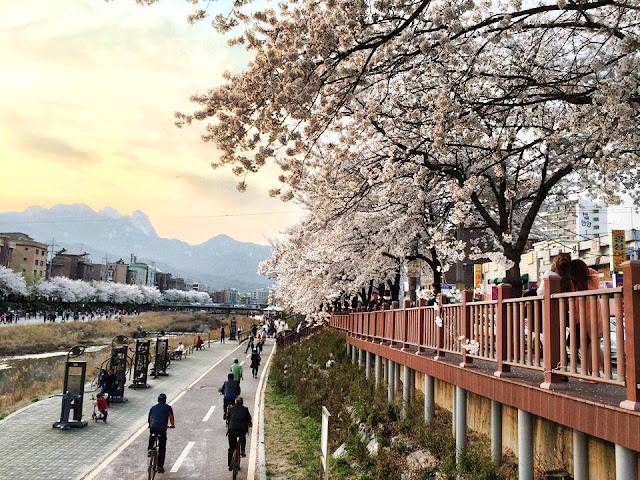 Mùa hoa anh đào là một trong những mùa đẹp nhất trong năm khi đi du lịch Hàn Quốc