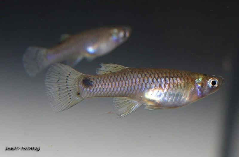 Gambar Ikan Ikan Pemakan Jentik Nyamuk - Ikan Affinis gambusia