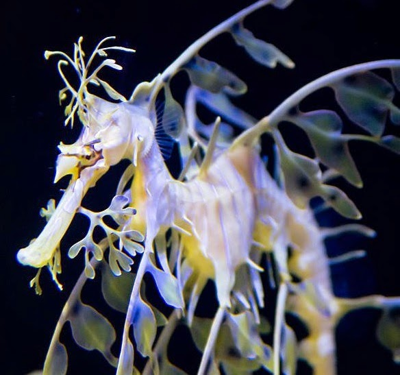 Leafy sea dragon in Birch Aquarium