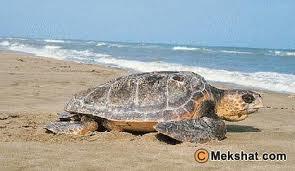 السلاحف البحرية بين الحياة والموت %25D8%25A7%25D9%2584%25D8%25B2%25D9%258A%25D8%25AA%25D9%2588%25D9%2586%25D9%258A%25D8%25A9