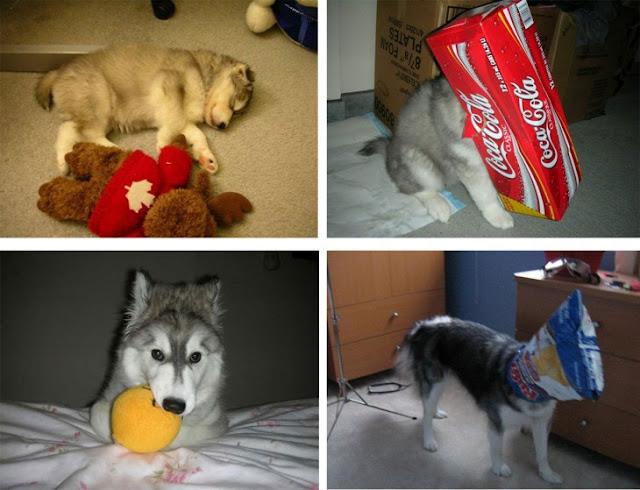Husky fue criada por gatos y ahora se cree una de ellos