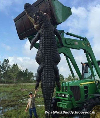 large alligator found in usa