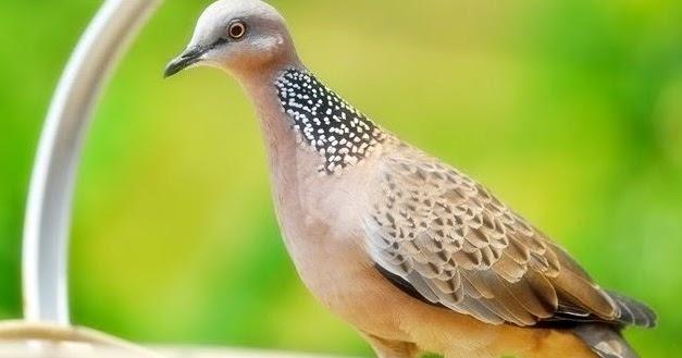 9 Perbedaan Fisik Burung Derkuku Jantan Dan Betina Paling Lengkap Kicau Mania