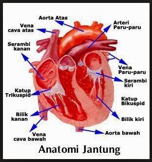 Beberapa Istilah dalam Sistem Peredaran Darah