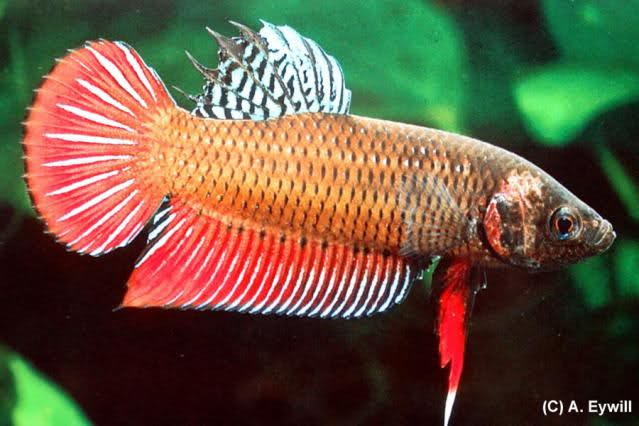 Sejarah Ikan Cupang