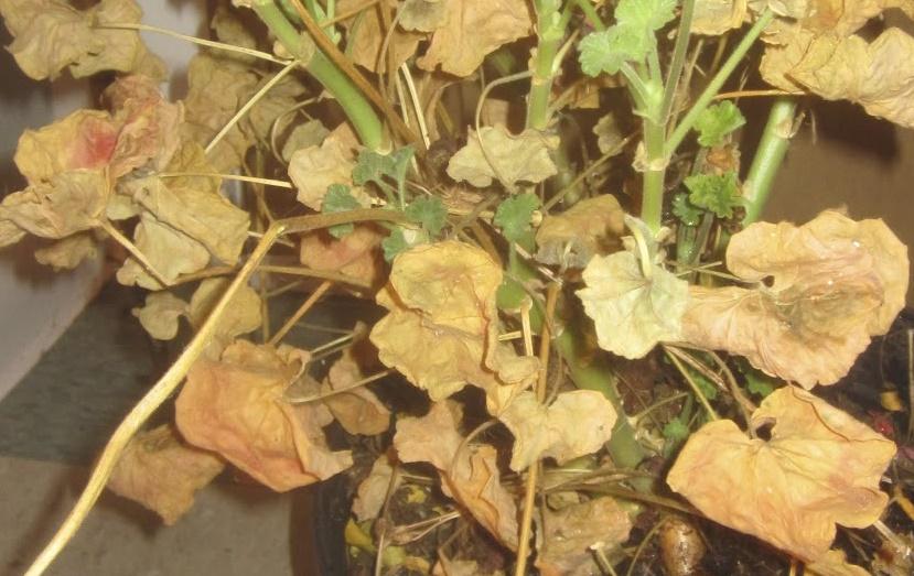 How Often Water Geraniums