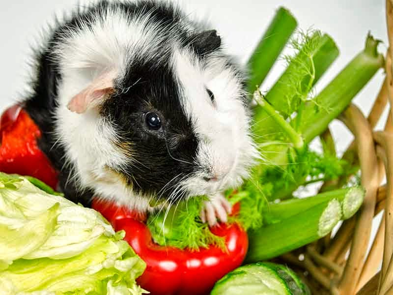 faszination meerschweinchen alles wissenswerte rund um die kleinen nager. Black Bedroom Furniture Sets. Home Design Ideas