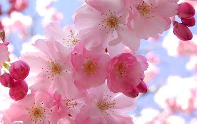 Sakura, flor da cerejeira japonesa