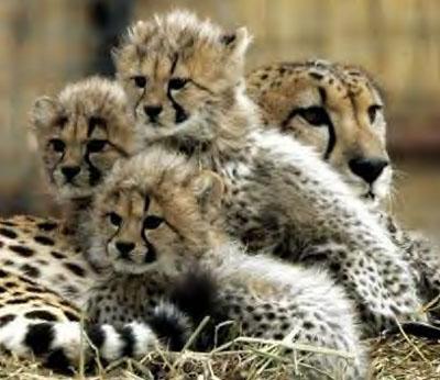 Very Cute Baby Cheetahs Cubs - Blue Image