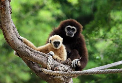 Gibbon - Animals Beginning with G