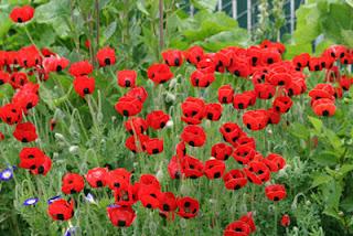 flores papaver