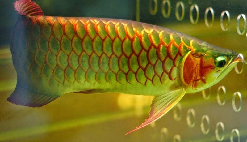 Ikan Arwana Merupakan Ikan Hias Air Tawar Yang Populer Saat Ini
