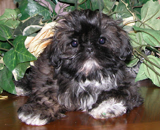 Chinese Imperial Dog-pets-dog breeds-pet